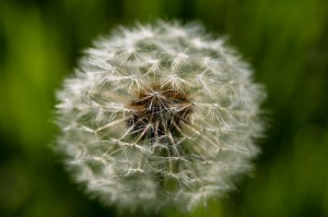 dandelion 300x199 Getting Fit   Diet   Lessons